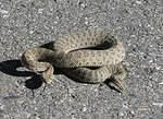 Prairie rattlesnake on the park road!